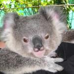 Posing Koala, Rockhampton Zoo