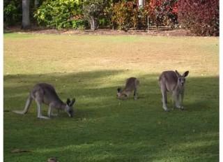 Australia Kangaroos