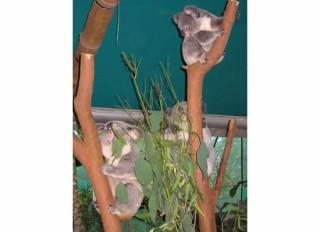 3 Koalas